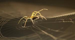 العلماء يستخدمون العناكب لصنع أقوى خيوط في العالم